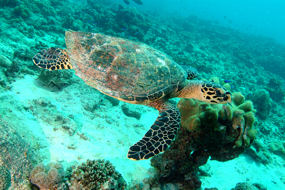 Hawksbill sea turtle, Seychelles