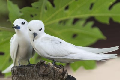 Pair of White Terns, Bird Island, Seychelles