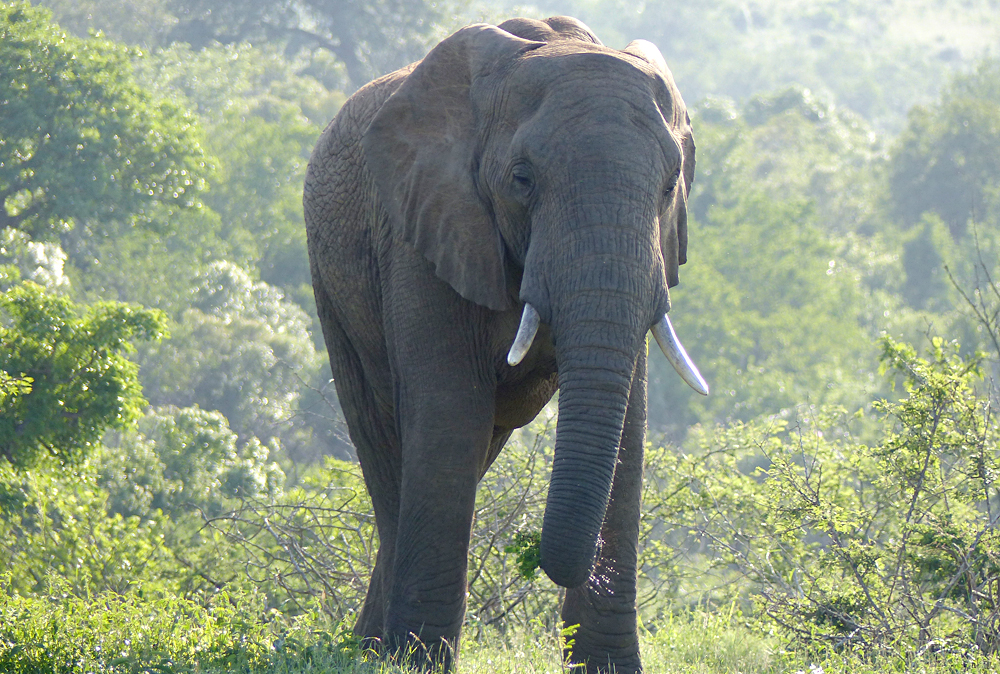 Raewyn Reid - Elephant in Hluhluwe-Umfulozi National Game Reserve, South Africa