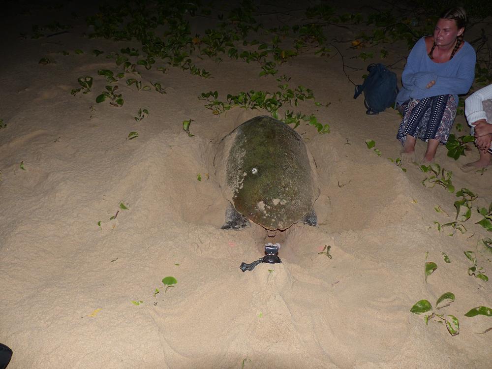Raewyn Reid - Loggerhead Turtle Laying Her Eggs, Isimangaliso Wetland Park, South Africa