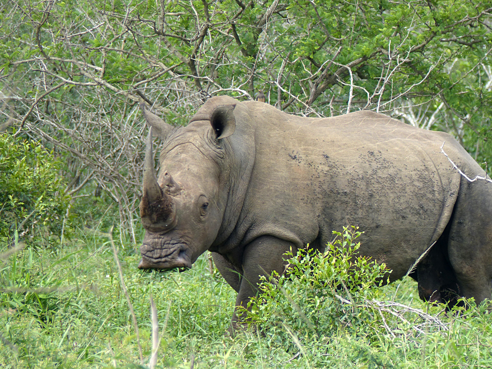 Raewyn Reid - Spotting a Rhino in Hluhluwe-Umfulozi National Game Reserve, South Africa