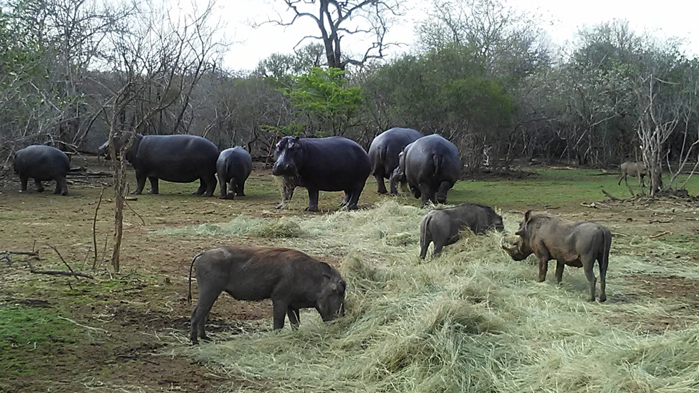 Bijal Kana - A Few Warthogs and Hippos Enjoying a Meal, Kruger National Park, South Africa