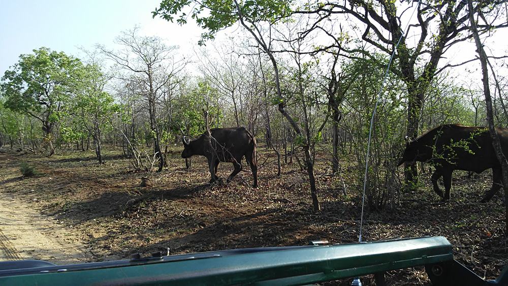 Bijal Kana - Buffalo Passing By Our Game Vehicle, Kruger National Park, South Africa