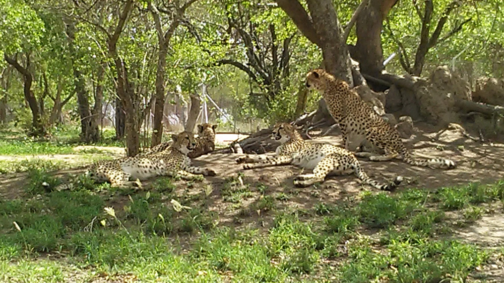 Bijal Kana - Cheetahs Roaming Around Freely in Hoedspruit Endangered Species Centre, South Africa