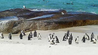 Bijal Kana - Penguins on Boulders Beach, South Africa