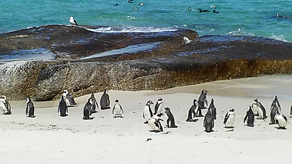 Bijal Kana - Penguins on Boulders Beach, South Africa
