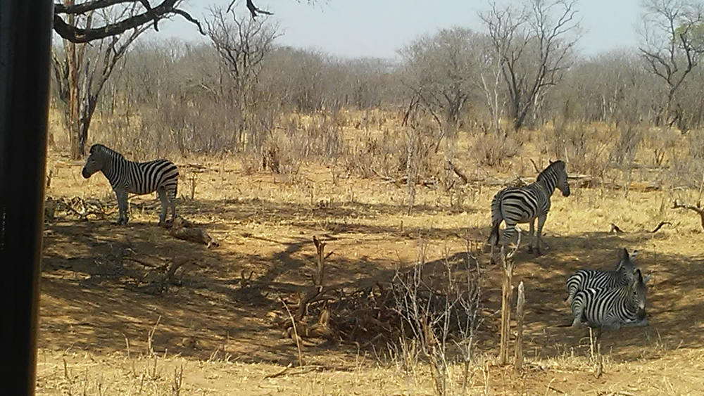Bijal Kana - Zebras Relaxing at Hwange National Park, Zimbabwe