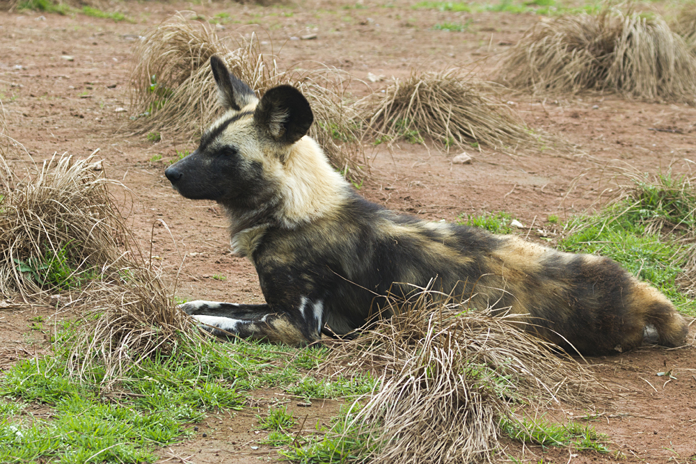 Close Up of Africa Painted Wild Dog, Madikwe Gamer Reserve, South Africa