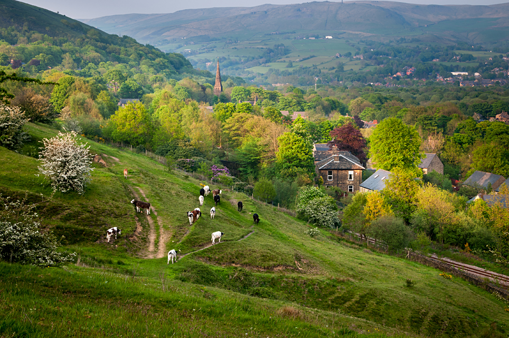 Cows and livestock returning to the farm at the end of evening, Yorkshire Dales, England, UK