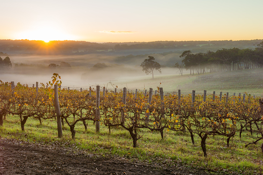 Dawn in the Vineyards, Margaret River, Western Australia, Australia