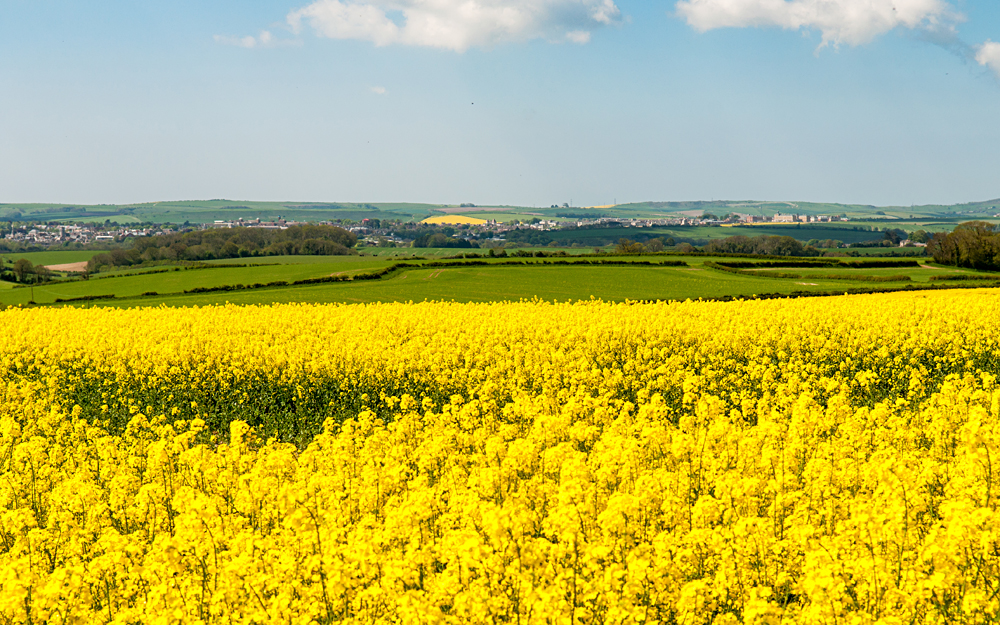 Fields of yellow oilseed rape flowers near Dorchester on the rolling hills of England's Dorset Downs, England, UK