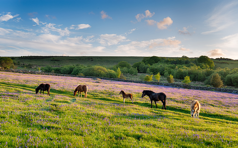 Ponies grazing in a bluebell meadow at Emsworthy Mire on Dartmoor National Park in Devon, England, UK