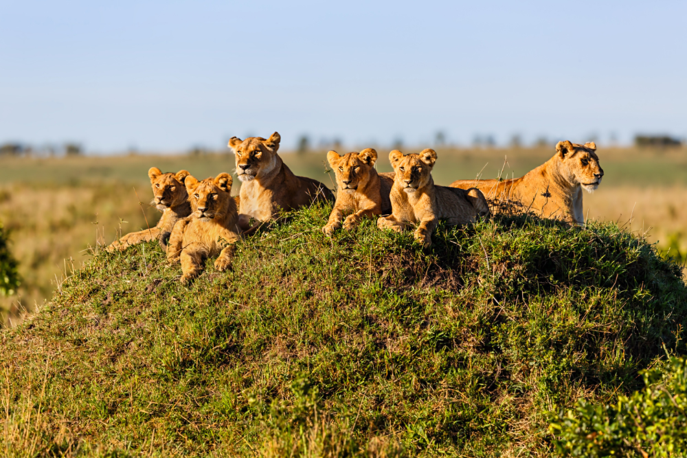Two Lionesses with Four Cubs on a Termite Hill enjoying the sun in Masai Mara, Kenya