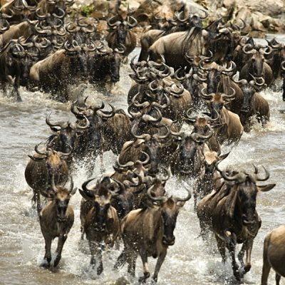 Wildebeest Crossing the Mara River, Kenya