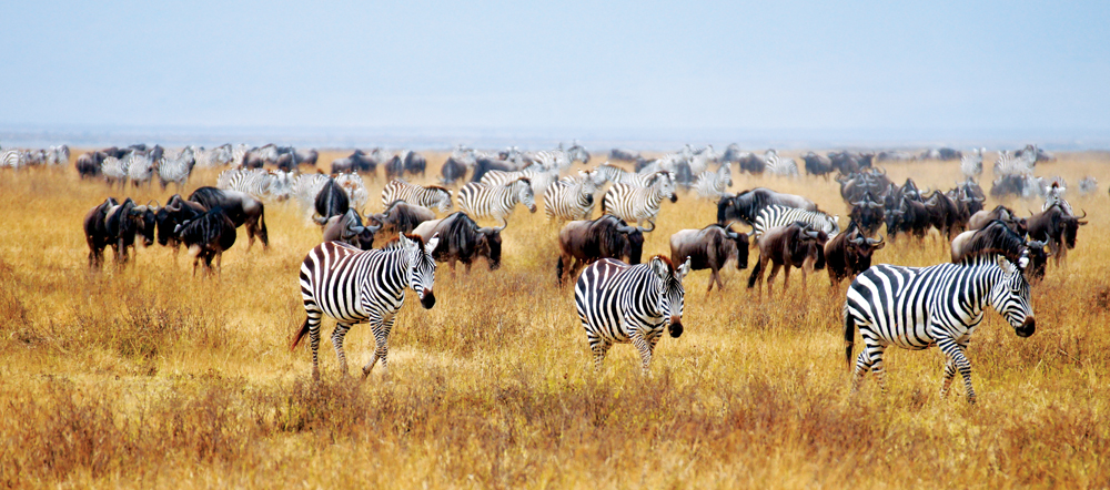 Wildebeest and Zebras Grazing in the Savannah, Tanzania