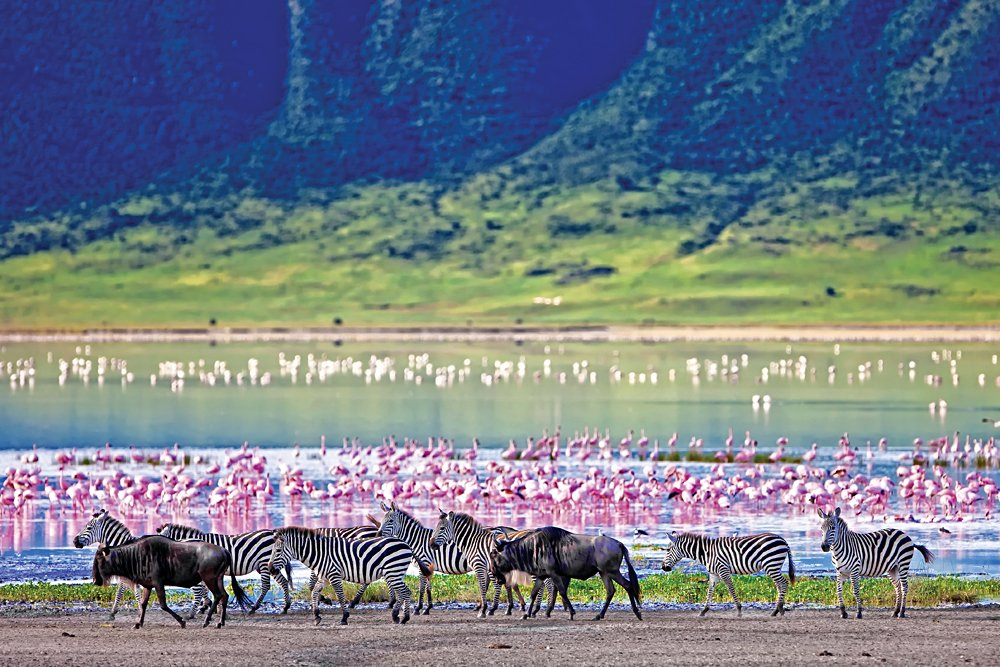Zebras and Wildebeests Walking Beside the Lake with Flamingos in the background in the Ngorongoro Crater, Tanzania