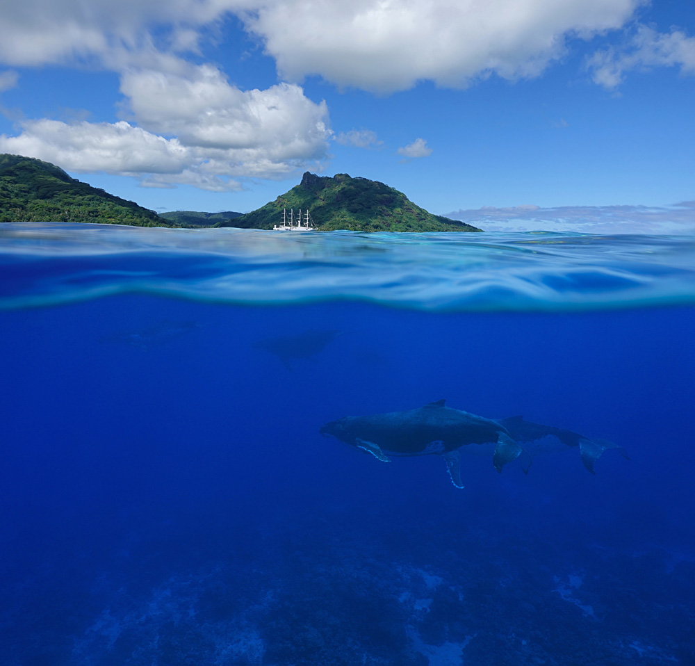 Humpback Whales with an Island and a Cruise Ship, Tahiti (French Polynesia)