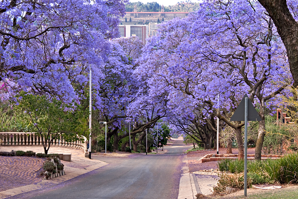 Jacaranda Trees Lining the Street in Pretoria, South Africa