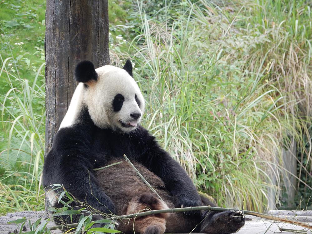 Nicky Cox - Giant Panda at Panda Sanctuary in Chengdu, Sichuan Province, China