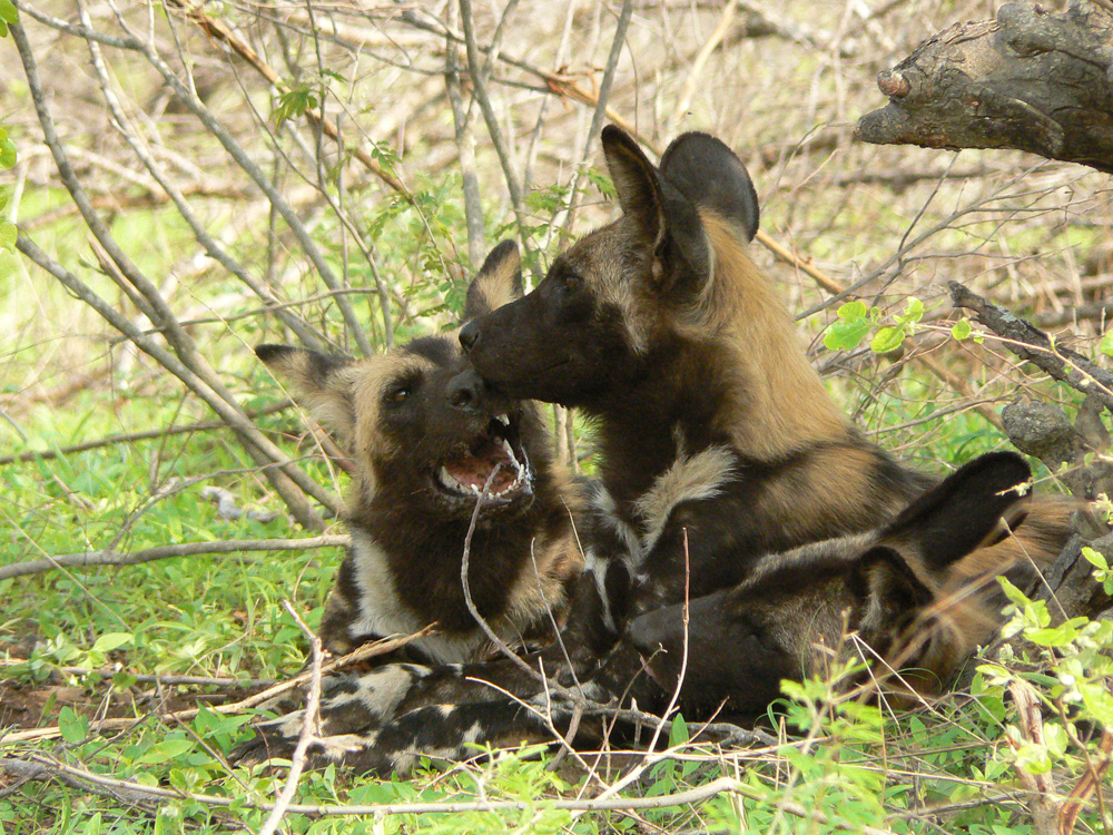 Wild Dogs in Hwange National Park, Zimbabwe