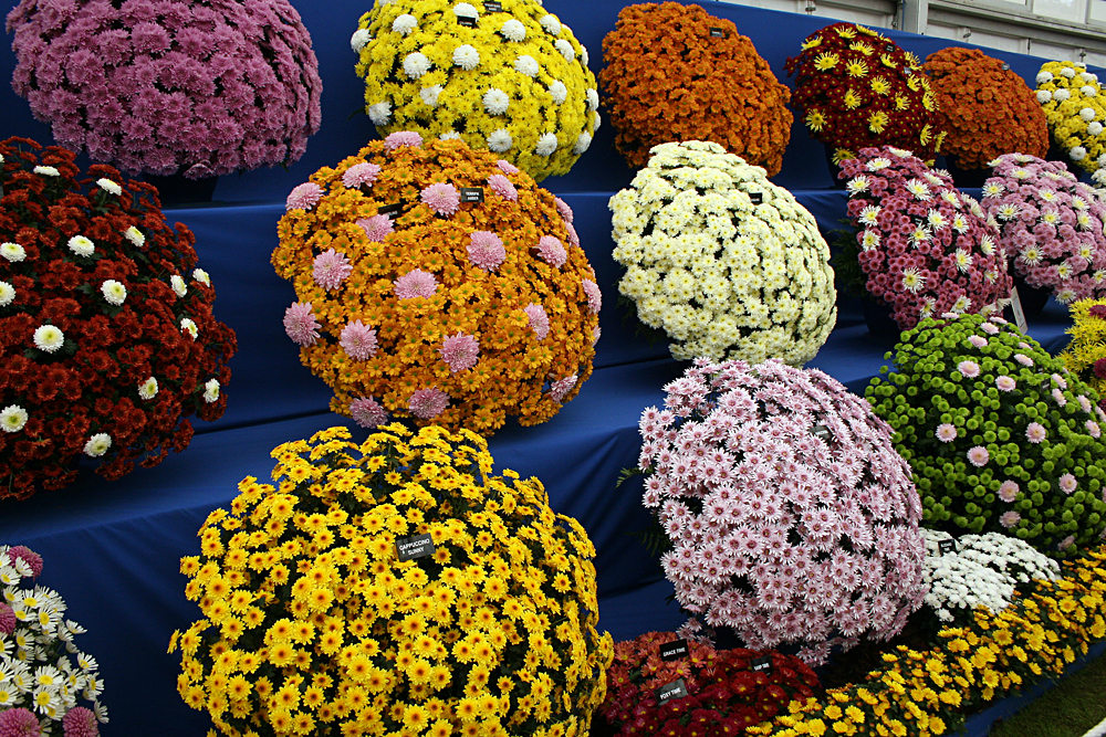 Chrysanthemums at Chelsea Flower Show, London, England, UK (United Kingdom)