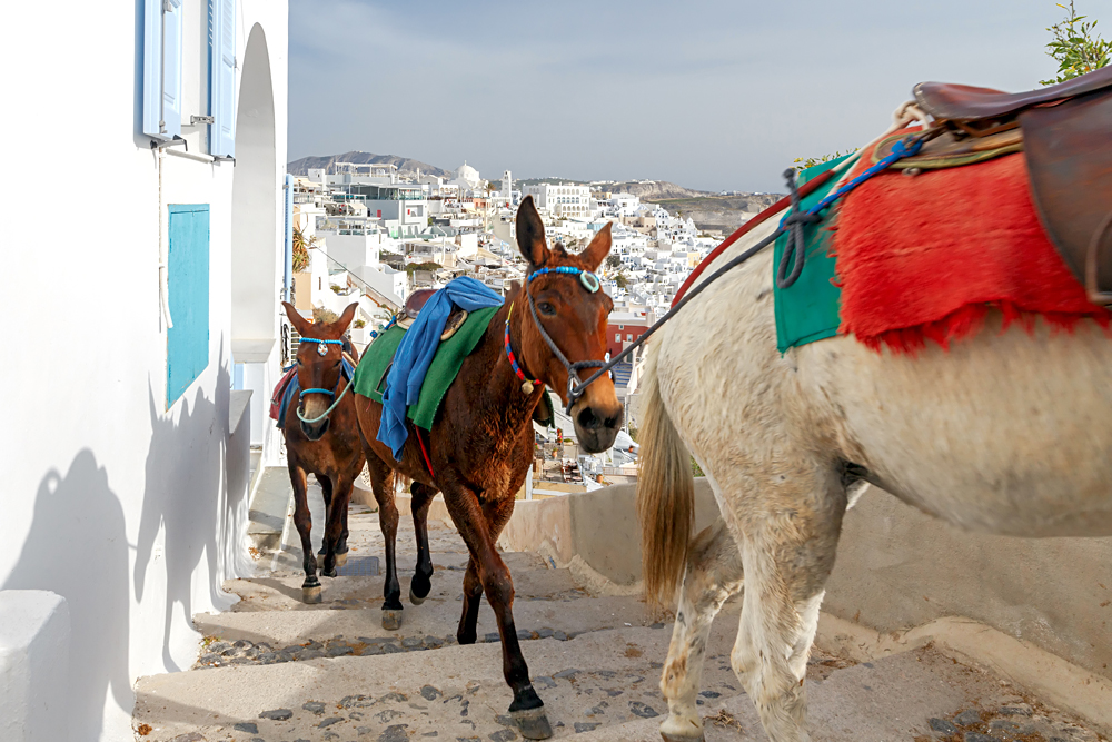 Donkeys for riding in the city of Fira on Santorini Island, Greece
