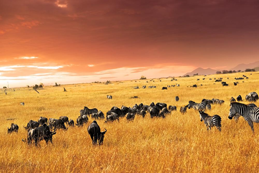Zebra herd, antelopes and wildebeest at sunset in the savannah, Masai Mara, Kenya