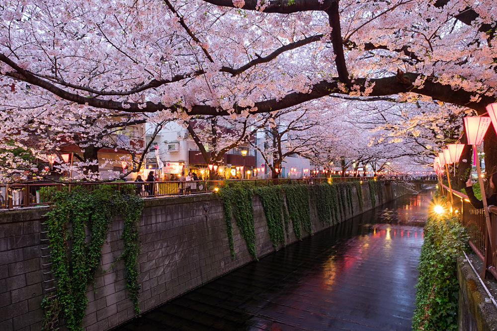 Cherry Blossoms Along the Meguro River, Tokyo, Japan