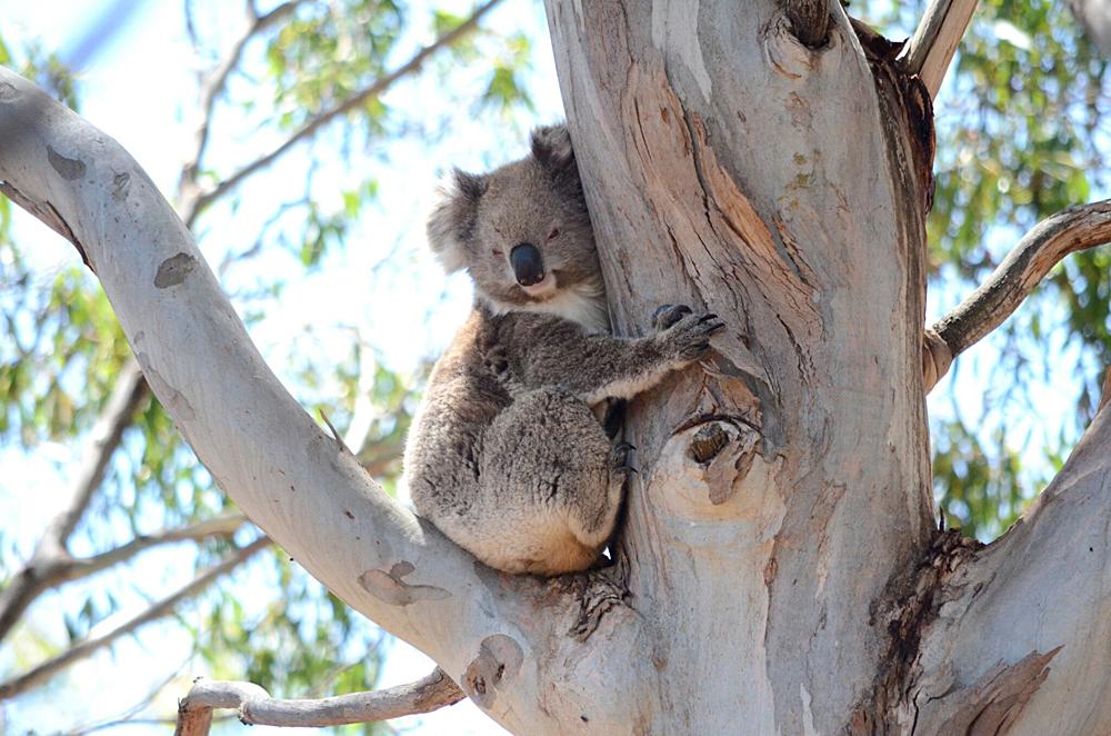 Echidna Walkabout Tours - Koala - Misty, Victoria, Australia