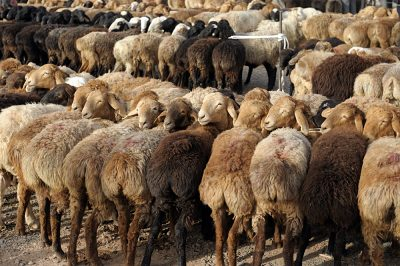 Sheep at Sunday market in Kashgar, China