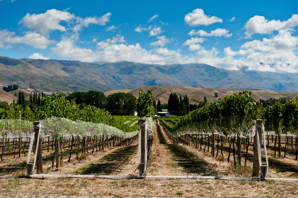 Vineyard in Gibbston Valley, Central Otago, South Island, New Zealand