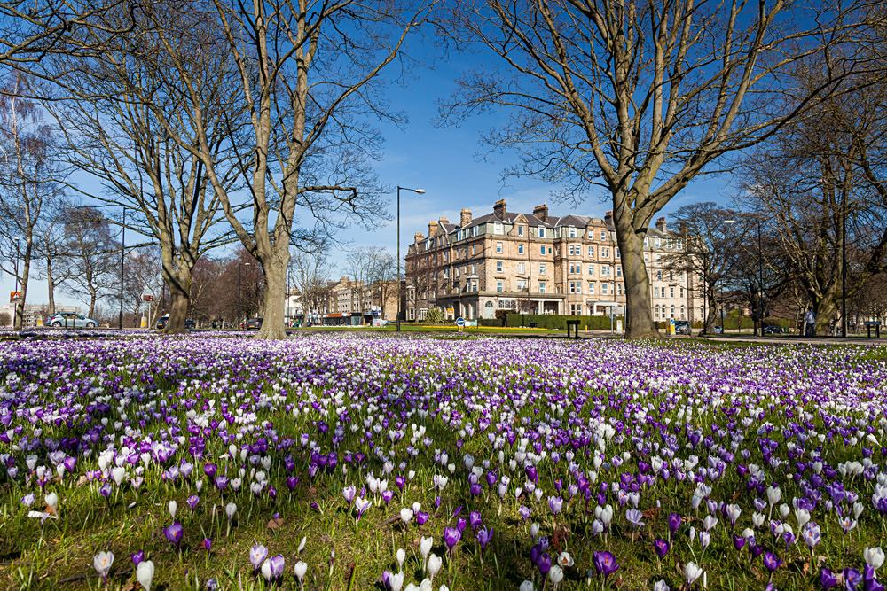 Crocuses on Harrogate Stray, Harrogate, Yorkshire, England, UK (United Kingdom)