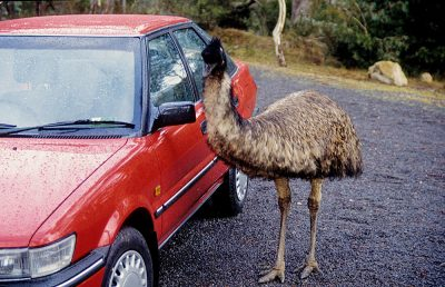 Emu beside Car, Australia