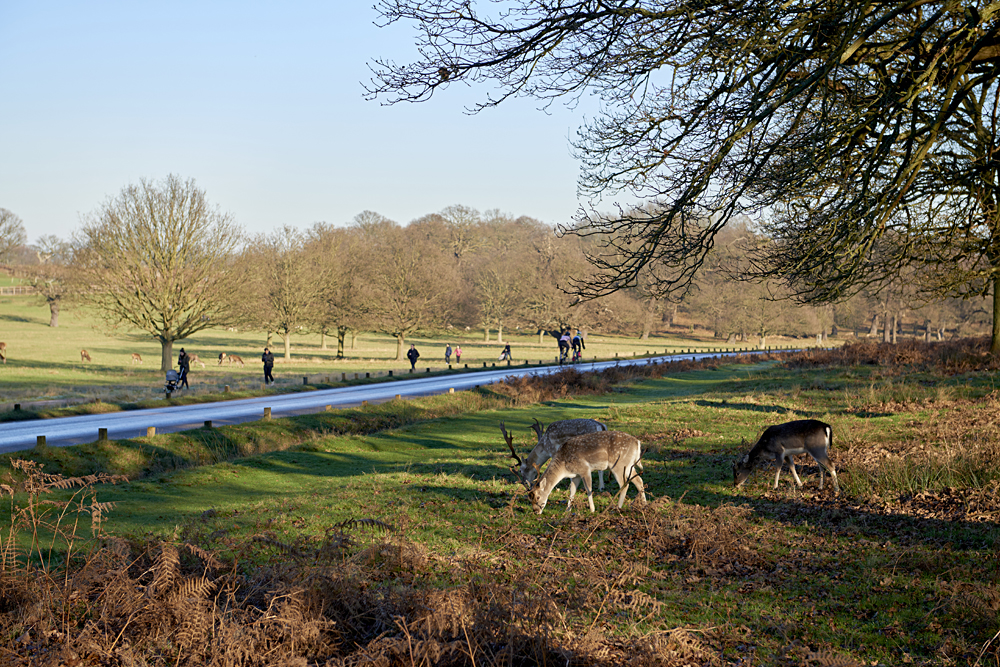 Fallow Deer Eating in Richmond Park in Autumn, London, England, UK (United Kingdom)