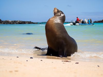 Male sea lion on the beach with tourists in the background, Santa Fe Island, Galapagos Islands, Ecuador