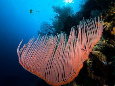 Harp Coral at Koh Bida Nok, Phi Phi Island, Krabi Province, Thailand