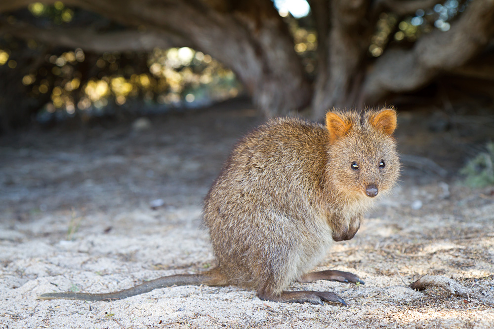 Quokka in Rottnest Island, Western Australia, Australia