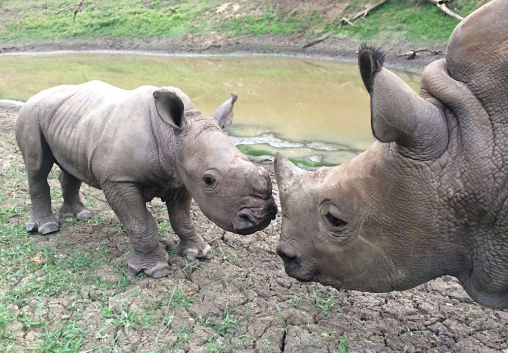 Thompsons Africa - rhino with pup at HESC, South Africa