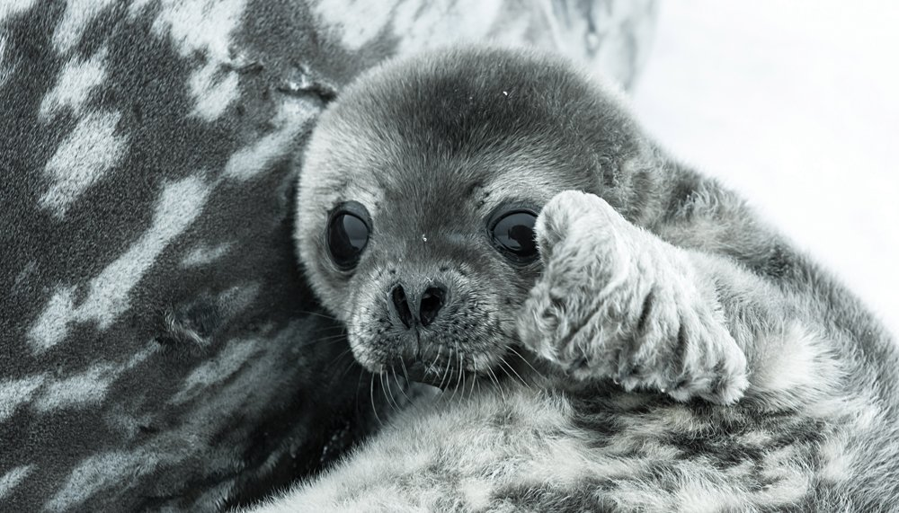 Baby Seal in Antarctica