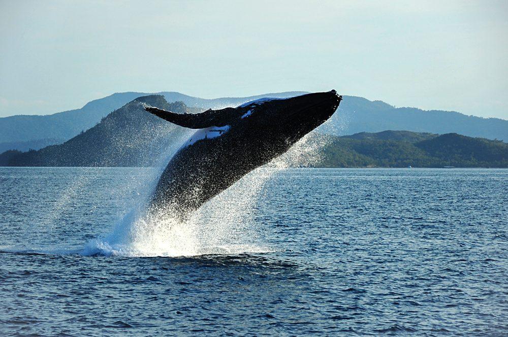 Humpback Whale breaching, Whitsundays, Queensland, Australia