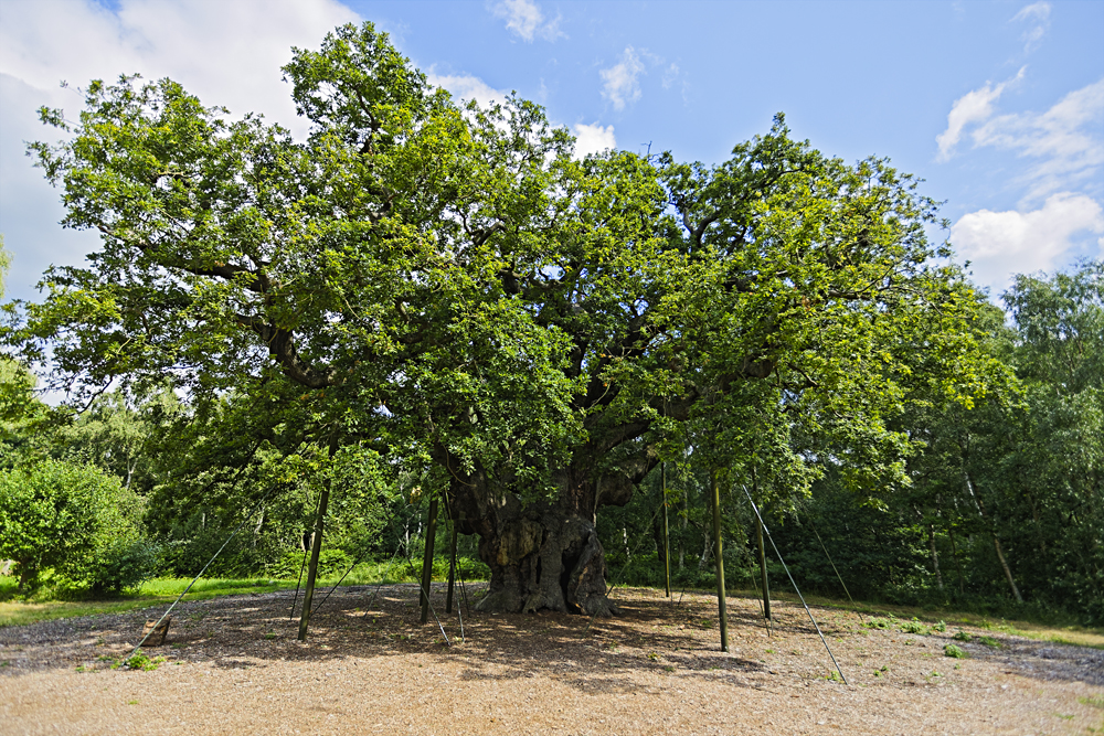 Major Oak, an ancient tree in Sherwood Forest, England, UK (United Kingdom)