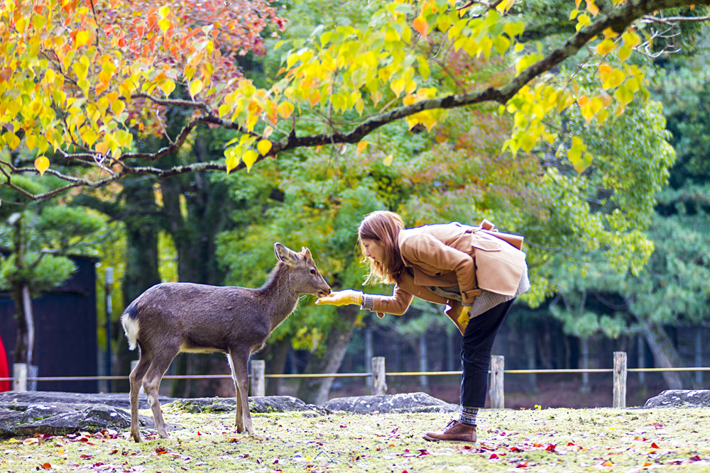 Woman Feeding Sika Deer in Nara Park, Japan