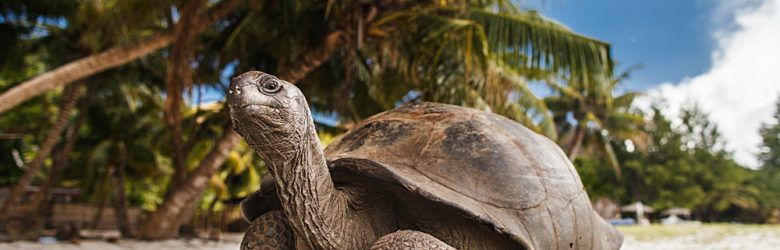 Giant tortoise on Curieuse Island, Seychelles