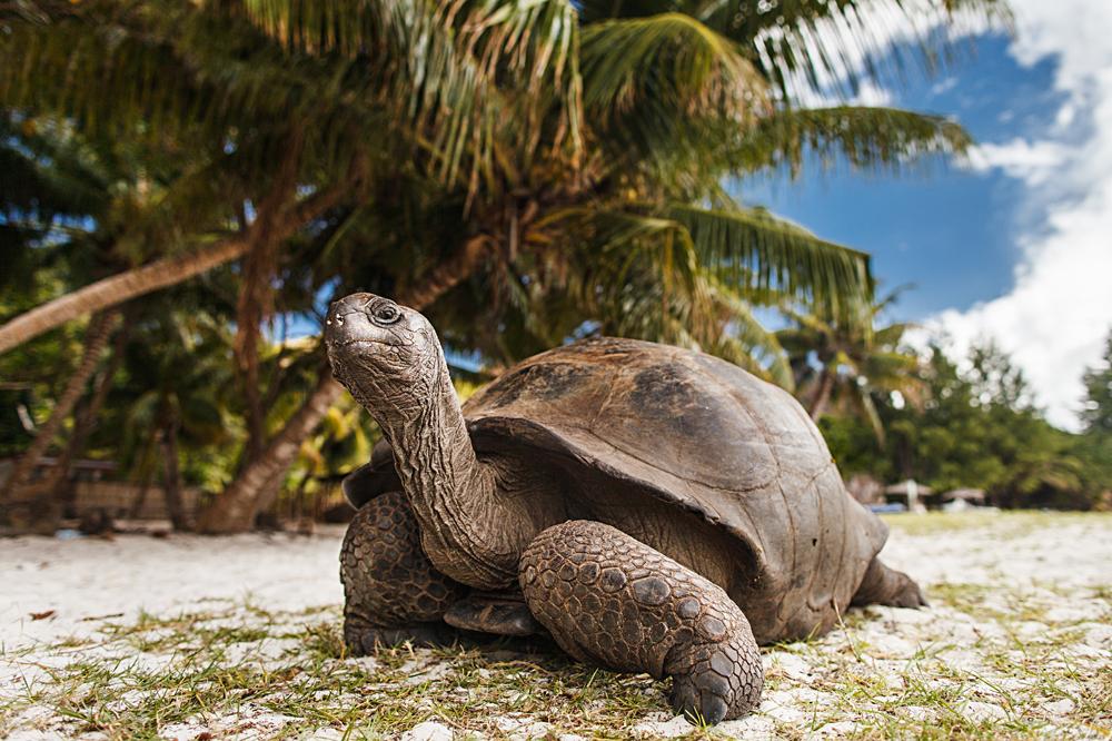 Giant tortoise on Curieuse Island, Seychelles