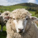 Inquisitive sheep in a Tasmanian field near Hobart in Tasmania, Australia