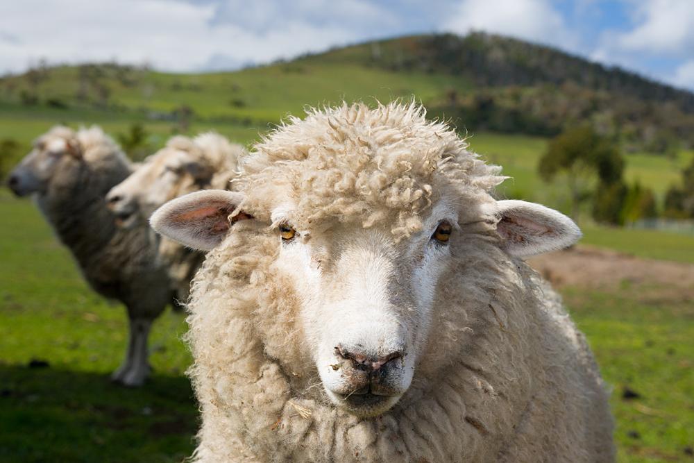 Inquisitive sheep in a Tasmanian field near Hobart in Tasmania, Australia