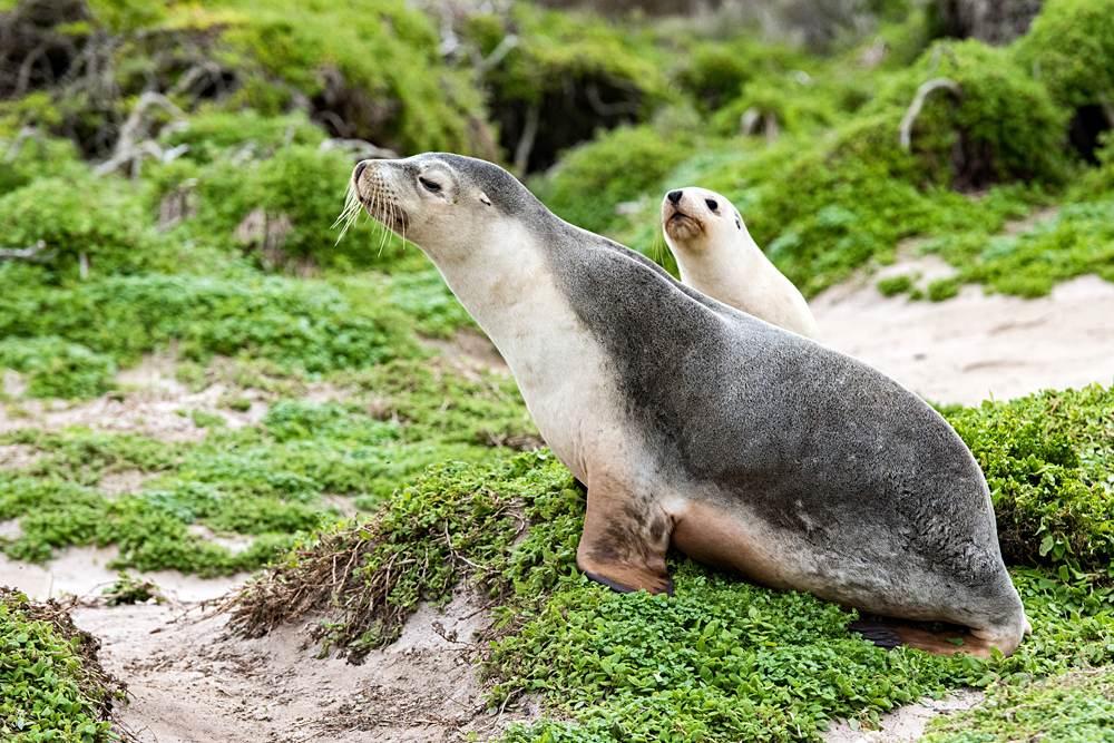 Sea lion and pup on green bush in Kangaroo Island, South Australia, Australia