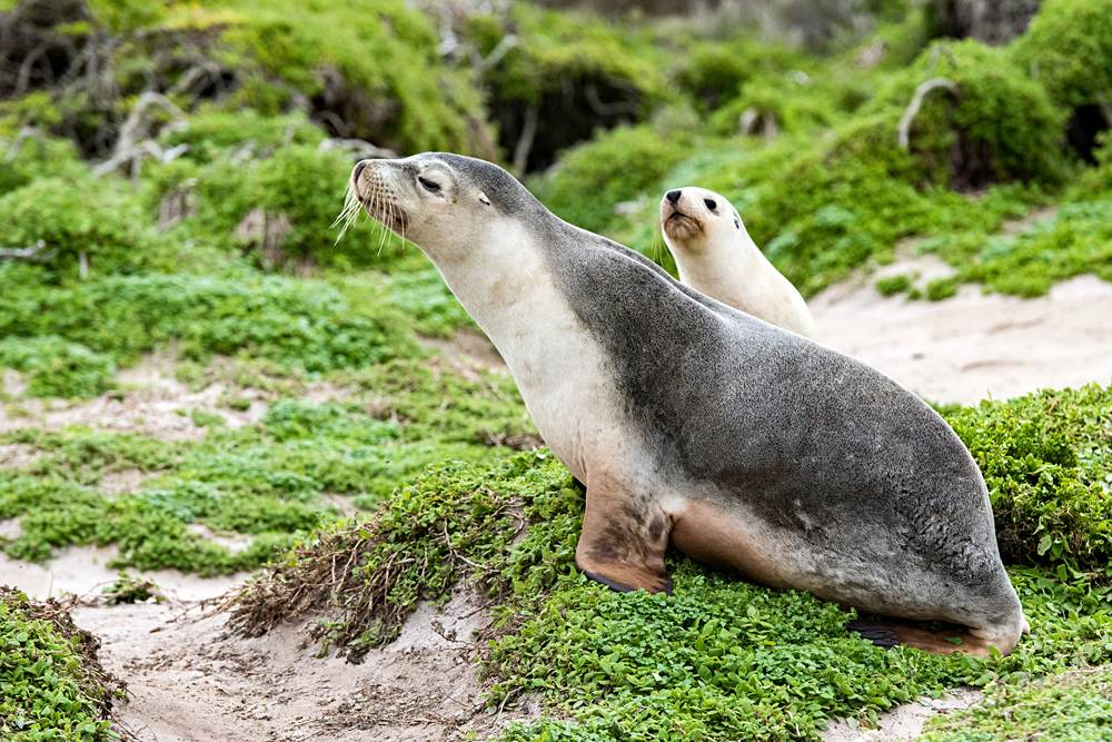 Sea lion and pup on green bush in Kangaroo Island, South Australia, Australia