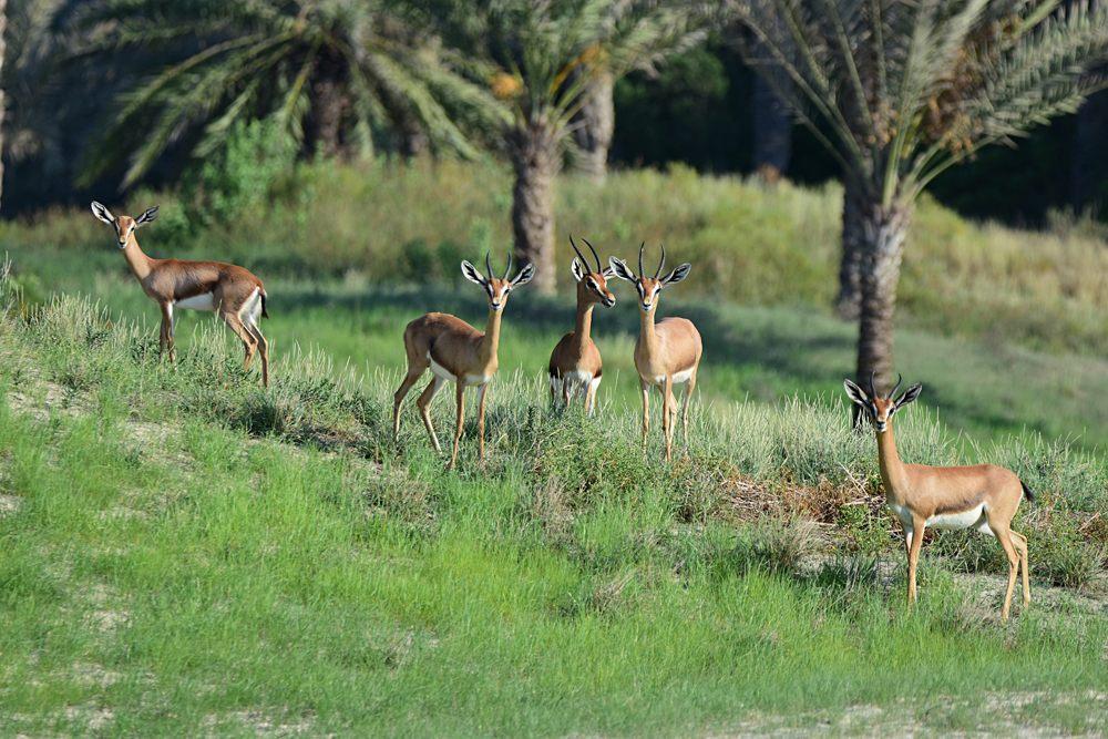 Arabian Deer at Arabian Wildlife Park near Abu Dhabi, UAE (United Arab Emirates)