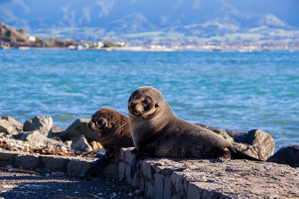 Baby Seal at Kaikoura, New Zealand
